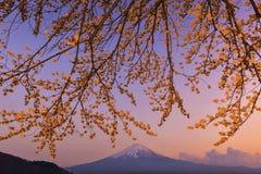 Sakura gałąź i Sakura drzewo przy Jeziornym Kawaguchiko Obrazy Stock