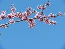 Sakura gałąź przeciw niebieskiemu niebu Obrazy Royalty Free