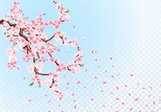 Sakura Gałąź z pastelowymi kwiatami, liśćmi i wiśnia pączkami, Czere?niowi p?atki Przejrzysta t?o ilustracja ilustracji