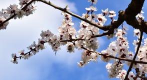 Sakura gałąź zakrywająca z fragrant wiosną kwitnie w górę fotografia royalty free
