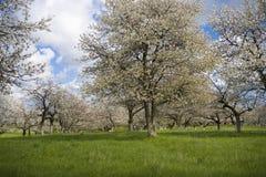 Sakura garden. Apple cherry tree garden in white flower in spring Royalty Free Stock Image