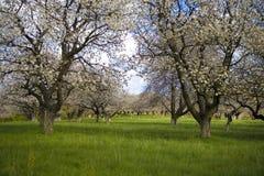 Sakura garden. Apple cherry tree garden in white flower in spring Stock Photography