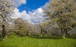 Sakura garden. Apple cherry tree garden in white flower in spring Stock Image