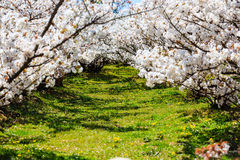 Sakura Garden Royalty Free Stock Photography