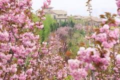 Sakura garden Stock Photography
