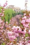 Sakura garden Royalty Free Stock Image