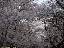 Sakura-Gasse Stockfoto