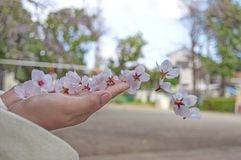 Sakura on a girl`s hand royalty free stock photo