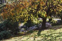 Sakura gouden gebladerte op de zon De tuin van de herfst Een kar met een stapel van gevallen bladeren Royalty-vrije Stock Afbeelding