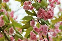Sakura grazioso Immagini Stock