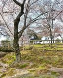 Sakura and green mos ground. Scenery of Sakura and green mos Royalty Free Stock Photography