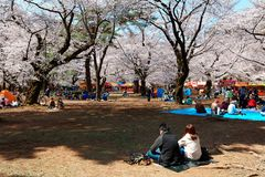 In Sakura Hanami, a popular leisure activity in spring, people have a picnic on the grassy ground royalty free stock photo