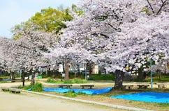 Sakura in Hanami season Royalty Free Stock Images