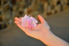Sakura in the hand. Blossom of sakura in girl hand Stock Photography