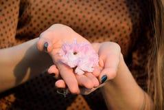 Sakura in the hands. Blossom of the sakura in the girl hands Royalty Free Stock Image