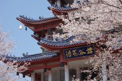 Sakura head of the Sakura Nagisa example Royalty Free Stock Photography