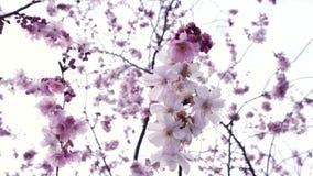 Sakura i blom i japanträdgård beskådar underifrån lager videofilmer