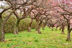 Sakura i blomning Royaltyfria Bilder
