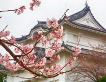 Sakura i blomning Royaltyfri Foto