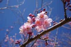 Sakura i den Qingjing lantgården, Taiwan royaltyfria foton