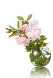 Sakura i en isolerad vas Royaltyfria Bilder