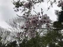 Sakura i Fuji Royaltyfria Bilder