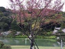 Sakura i Fukuoka Japan Arkivfoton