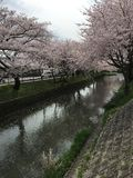 Sakura i japan Arkivbild