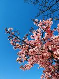 Sakura i paris fotografering för bildbyråer