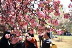 Sakura i Shinjuku Gyoen, Tokyo royaltyfria bilder