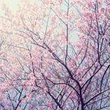 Sakura i vinter på Doi Kunwang, Chaingmai, Thailand Tappning f royaltyfri foto