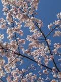 Sakura im Himmel Stockbild