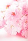 Sakura isolated Royalty Free Stock Photos