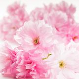 Sakura isolated Royalty Free Stock Photos