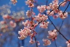 Sakura in japan Stock Images