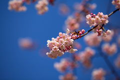 Sakura in japan Royalty Free Stock Photography