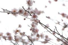 Sakura japan Zdjęcie Stock