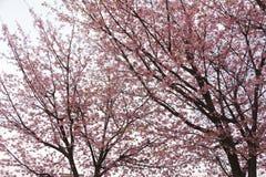 Sakura japan Obrazy Stock