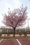 Sakura japan Zdjęcie Royalty Free
