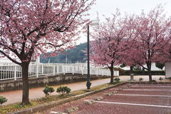 Sakura japan Fotografia Royalty Free