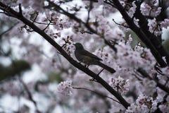Sakura in Japan Royalty-vrije Stock Afbeeldingen