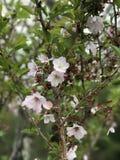 Sakura in Japan Lizenzfreies Stockfoto