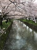 Sakura in Japan. Beautiful Sakura in Aichi Royalty Free Stock Photo