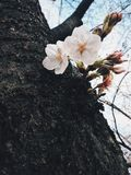 Sakura in Japan. Sakura blooming in Tokyo. Japan Sakura festive / season. Photo by Demi at naka megoru Tokyo. Pink early Sakura in end of March Royalty Free Stock Photos