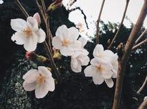 Sakura in Japan. Sakura blooming in Tokyo. Japan Sakura festive / season. Photo by Demi at naka megoru Tokyo. Pink early Sakura in end of March Stock Photos