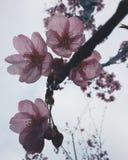 Sakura in Japan. Sakura blooming in Tokyo. Japan Sakura festive / season. Photo by Demi at naka megoru Tokyo. Pink early Sakura in end of March Stock Photo