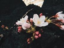 Sakura in Japan. Sakura blooming in Tokyo. Japan Sakura festive / season. Photo by Demi at naka megoru Tokyo. Pink early Sakura in end of March Royalty Free Stock Images