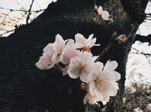 Sakura in Japan. Sakura blooming in Tokyo. Japan Sakura festive / season. Photo by Demi at naka megoru Tokyo. Pink early Sakura in end of March Royalty Free Stock Photo