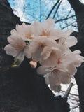 Sakura in Japan. Sakura blooming in Tokyo. Japan Sakura festive / season. Photo by Demi at naka megoru Tokyo. Pink early Sakura in end of March Stock Image