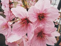 Sakura in Japan. Sakura blooming in Tokyo. Japan Sakura festive / season. Photo by Demi at naka megoru Tokyo. Pink early Sakura in end of March Royalty Free Stock Image